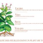 De la plante au cigare : processus de transformation des feuilles de tabacs